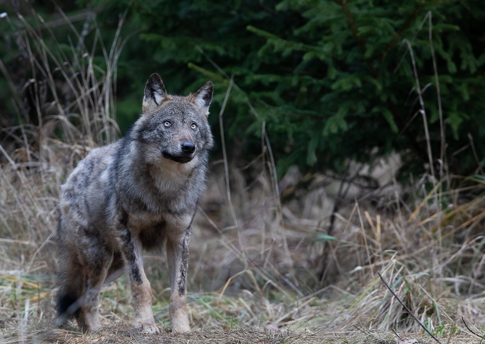 Why don't Estonians cry wolf?